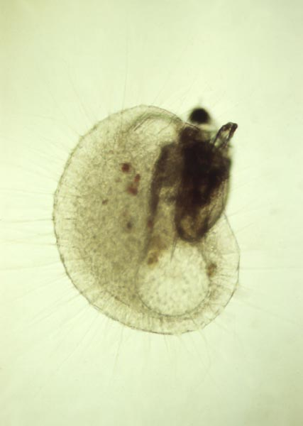 Scapholeberis Mucronata